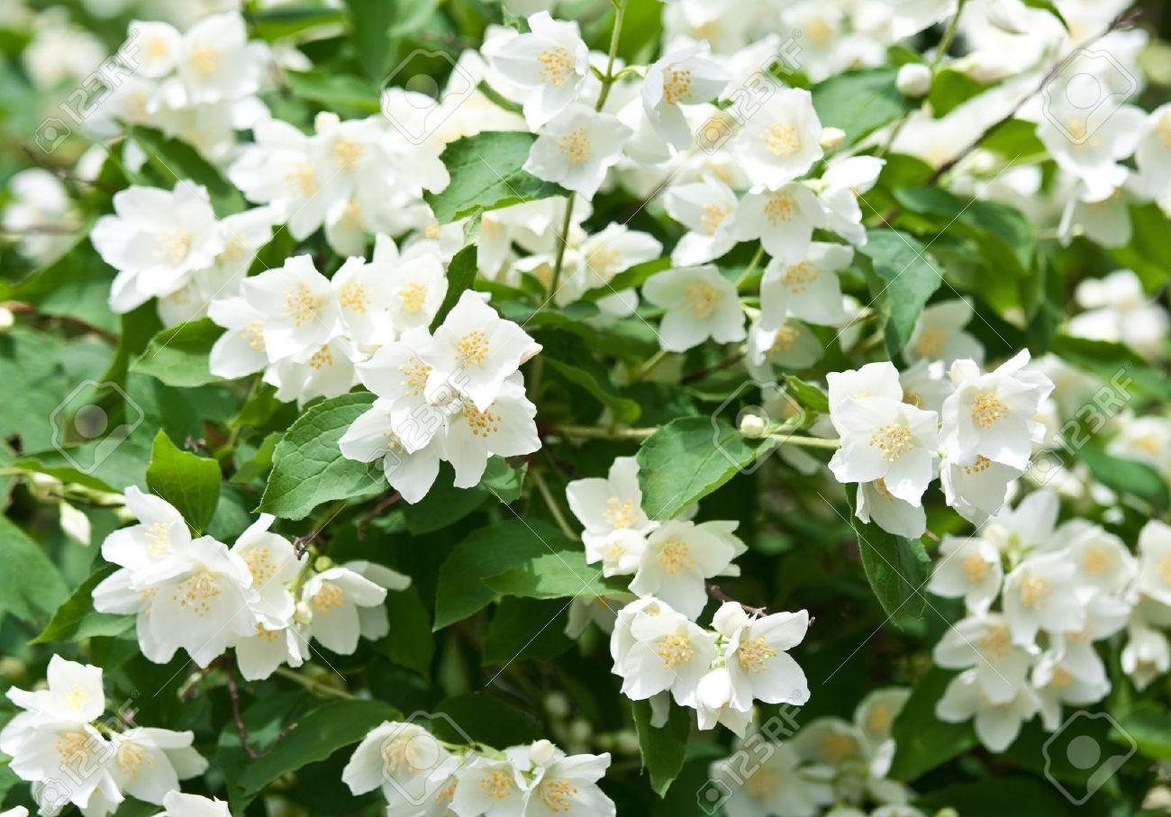 14475812 fleurs de jasmin fond belles fleurs de jasmin en fleurs banque d images conseil dans. Black Bedroom Furniture Sets. Home Design Ideas