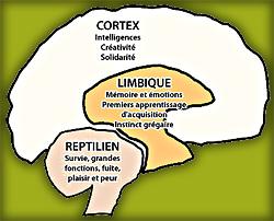 cerveau_simplifie